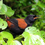 north island saddleback tieke